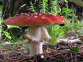 List of Poisonous Mushrooms With Pictures