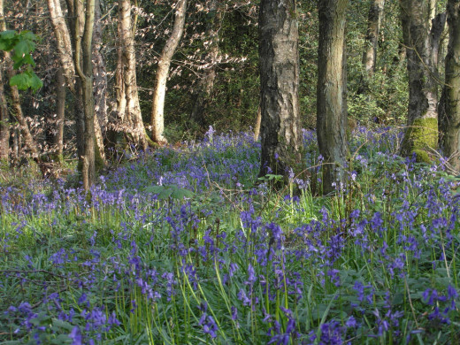 Bluebells in Hagg Wood