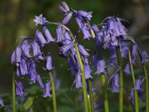 Bluebells - note the curled back petal ends