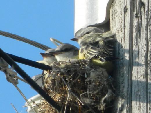 Western Kingbird Nestlings, final day