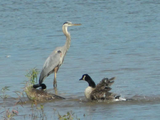 Great Blue Heron with Canada Goose