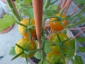 Cherry tomatoes are first to ripen