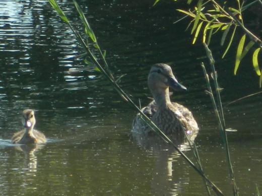 Female Mallard with Duckling