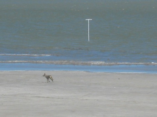 My first sighting of a Coyote after 12 years in Texas