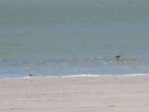 Seagull and Blue Heron fishing