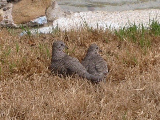 Two little inca doves beating the heat sitting in the grass near the pond
