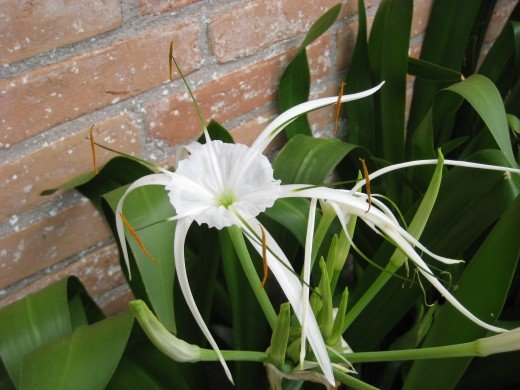 "I have no idea what this is - so exotic looking! YAY, ""Cat on a Soapbox"" (fellow hubber) told me that it is a spider lily, otherwise known as Hymenocallis.  :)"