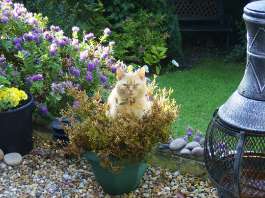 Tiny Ginger cat Sitting in a Spiky Bush