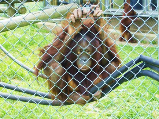 Orangutan Clinging to a Fence