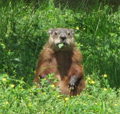 How to Get Rid of Ground Hogs