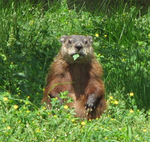 Eight Ways to Get Rid of Groundhogs