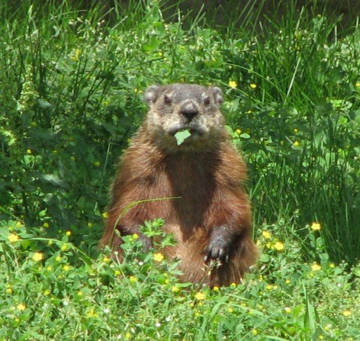 Woodchuck Eating