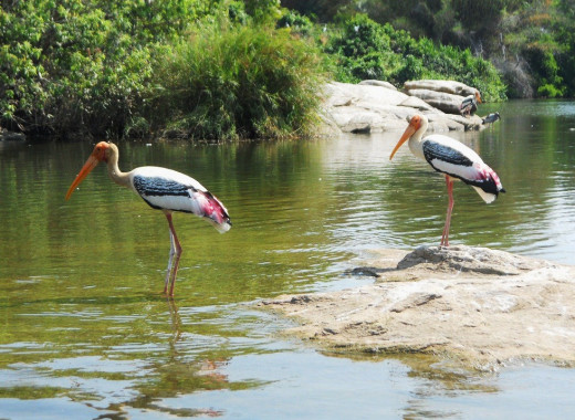 Painted storks in Ranganathittu