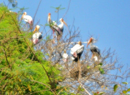 Painted storks nesting on trees
