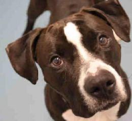 Staten Island Center DOTSON - ID#A0935069 A dog on death row.