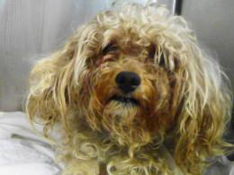 Manhattan Center ANGELO - ID#A0936437 This dog still needs loving home.