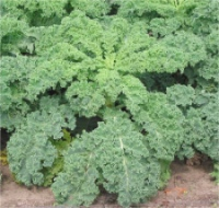 Kale: Tasty, and a source of the omega-3 ALA, fiber, protein, thiamin, riboflavin, folate, iron, magnesium and phosphorus, as well as vitamins A, C, K,  B6,  and calcium, potassium, copper and manganese.