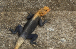 Central African Lizzard