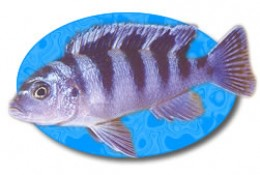 The female Kenyi Cichlid maintains it's blue and black coloration as it matures.