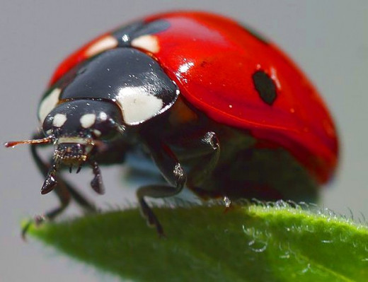A surprisingly scary picture of a ladybird, a friendly bug!