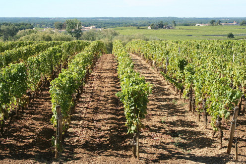 Chateau d'Yquem Vineyard in Sauternes