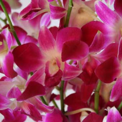 Deceptive orchids, Love and Lies
