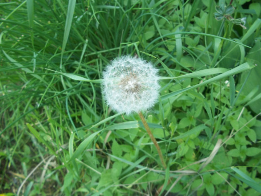 The seeds from a dandelion are a food source for many birds.