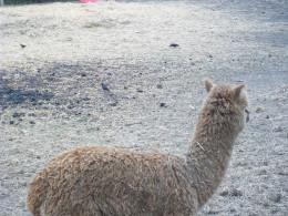 The small black spots behind the alpaca are what I believe to be Starlings; they are constant occupants of the pen, feeding on the bugs that are ever-present in the dung piles.