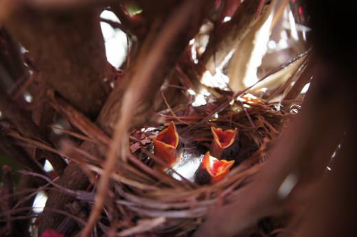 Baby Birds, Rancho Bernardo
