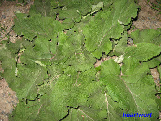 The large leaves of this first year burdock will stay close to the ground.