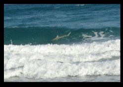 Sharks in the Surf - Myrtle Beach, SC
