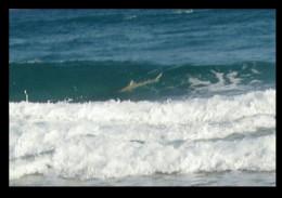 Spinner shark in the surf.