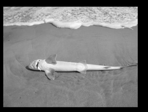 Sand shark on the shore