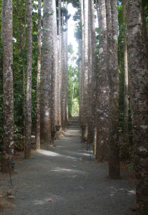 The Avenue of Kauri Pines