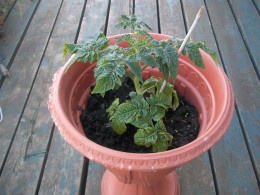 A patio tomato in an urn planter. Note: it needs more soil.