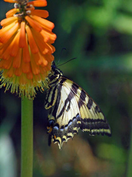 Swallowtail Butterfly enjoying a Torch Lily (Red hot poker) in the Salman Raspberry Ranch gardens.