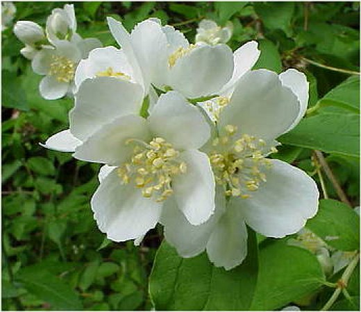 mock-orange flowers