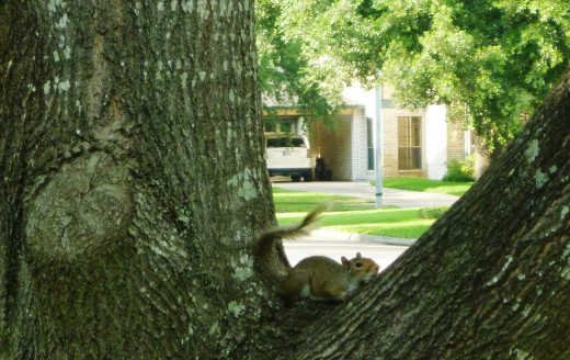 Young squirrel taking it easy in one of our oak trees in the front yard.