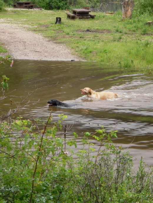 The flooded roads in the campground at Skimikin Lake Forest Reserve Site are a playground for water dogs like these black and golden Labrador retrievers hunting the balls their people threw.