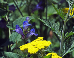 Moonshine Yarrow and Blue Salvia in the gardens at the Salman Raspberry Ranch