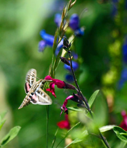 Hummingbird Moth with Red and Blue Salvia in the gardens at the Salman Raspberry Ranch