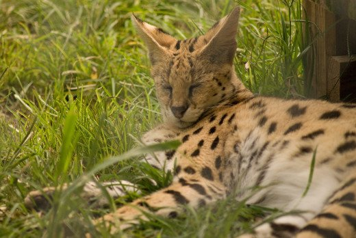A serval who isn't as asleep as he appears.