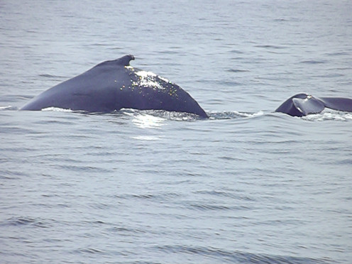 momma and baby Humpback whales; with baby getting ready to dive
