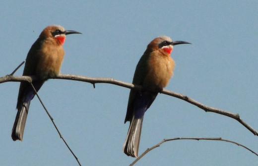 Bee-eaters, two of many!