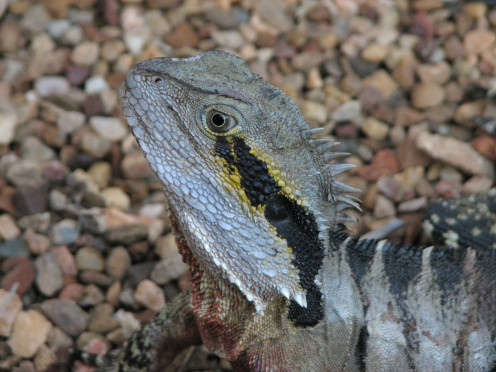 Close up of the head of an Eastern Water Dragon.