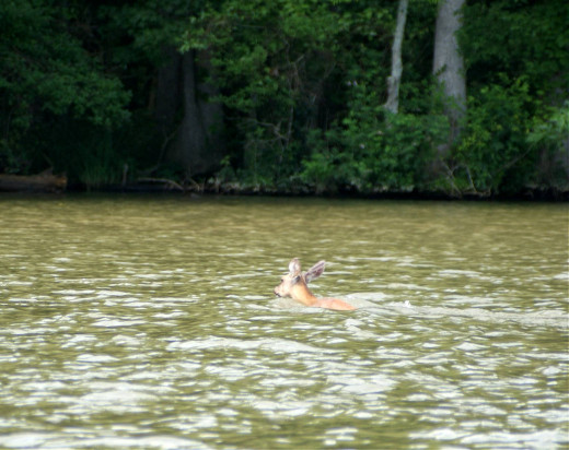 Deer swimming across Roanoke River near Plymouth, NC