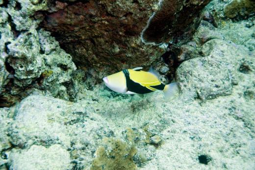 Humuhumunukunukuapua'a or Picasso Triggerfish