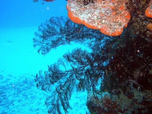 Antipathes pennacea (Black coral)