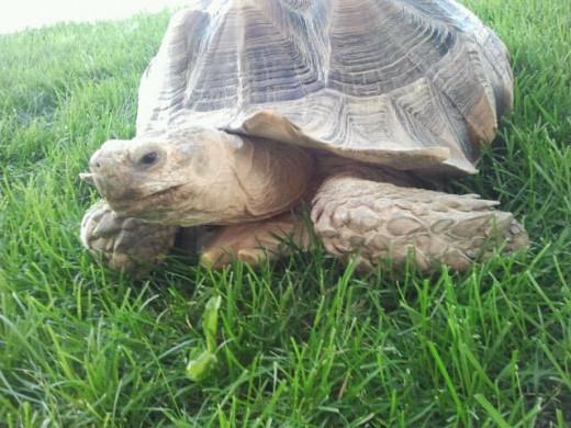 A tortoise with pyramidization. Photo Source: Shanna11