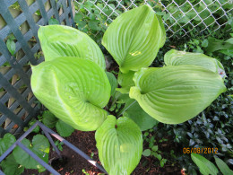 Large, light leaf hosta